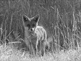 A young fox cub carefullly watches