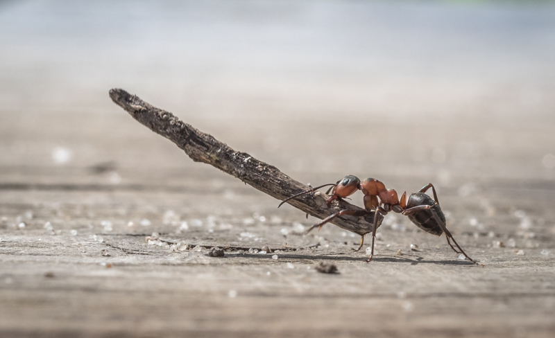Ant with Nest Material by Alan Bevis