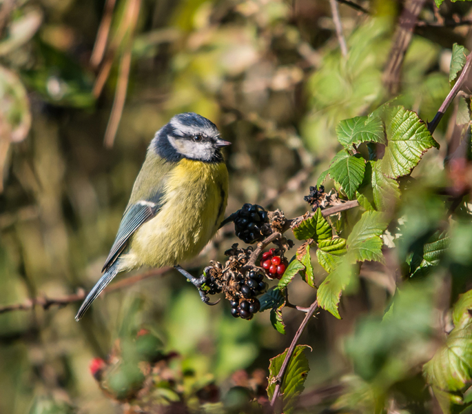 Blue Tit and Blackberries by Phil Harris