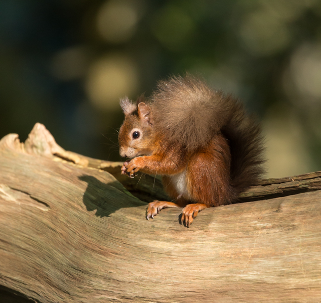 Brownsea squirrel-1