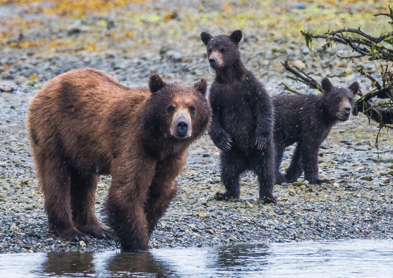 Grzzly bear with cubs 2