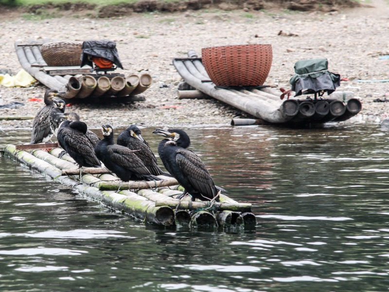 Guiliin cormorants