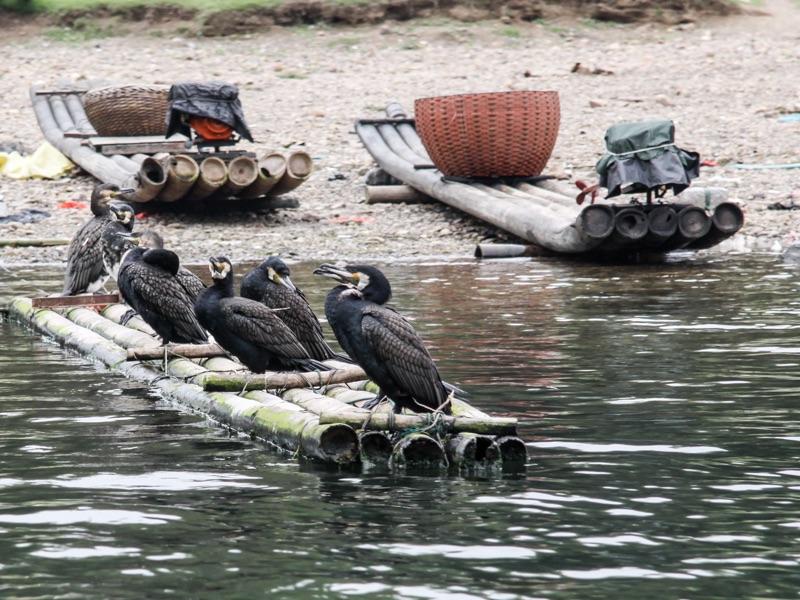 Guiliin cormorants