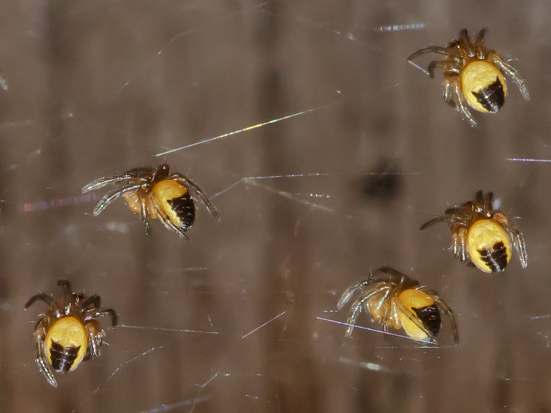 Hatchling spiders