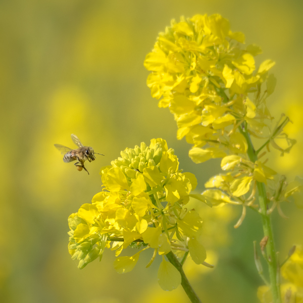 Honey Bee and Rape Flowers by Alan Bevis