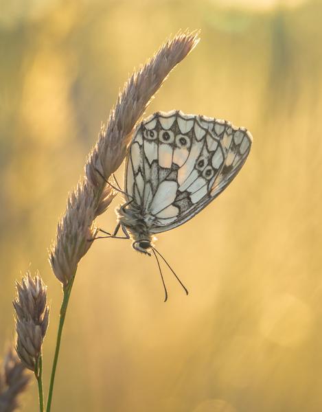 Marbled White at Sunset - Alan Bevis
