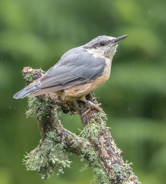 Nuthatch in the Rain - Alan Bevis
