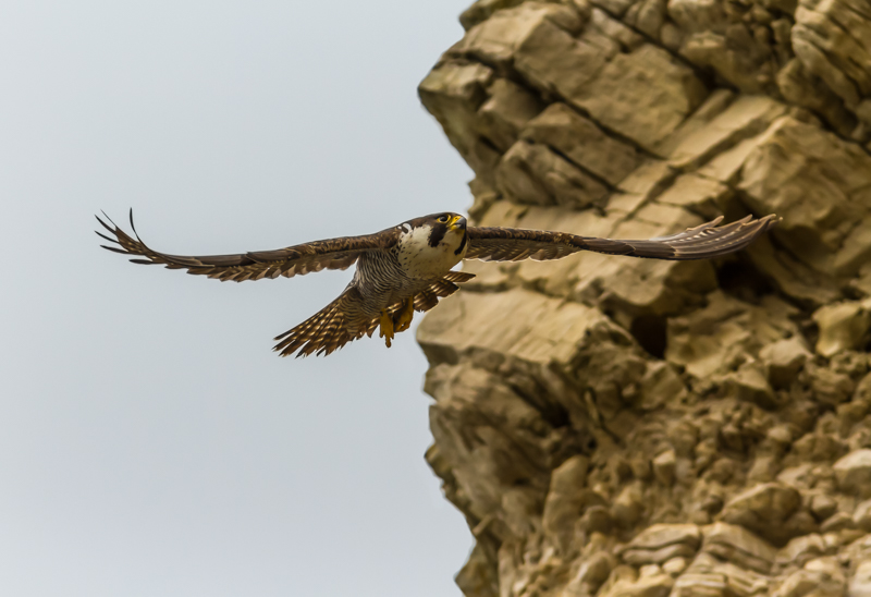 Peregrine at Mupe Bay