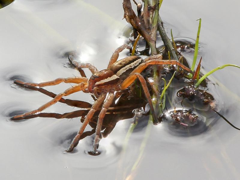 Raft spider phmerge 2