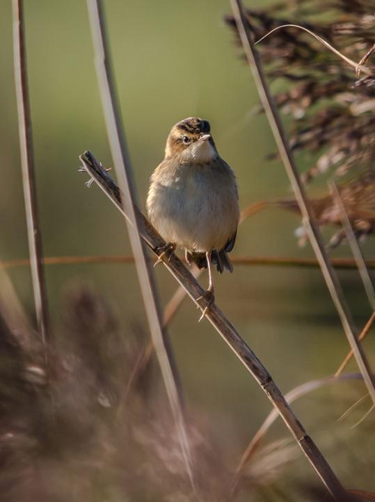 Reed Warbler by Phil Harris