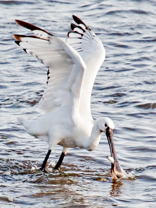 Spoonbill and lunch