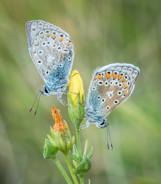 Two Common Blues by Alan Bevis