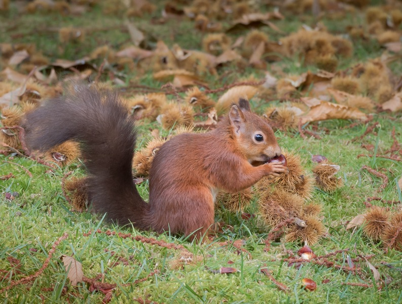 brownsea red squirrel by mary bevis