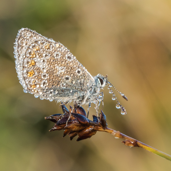 dew drenched common blue by mary bevis