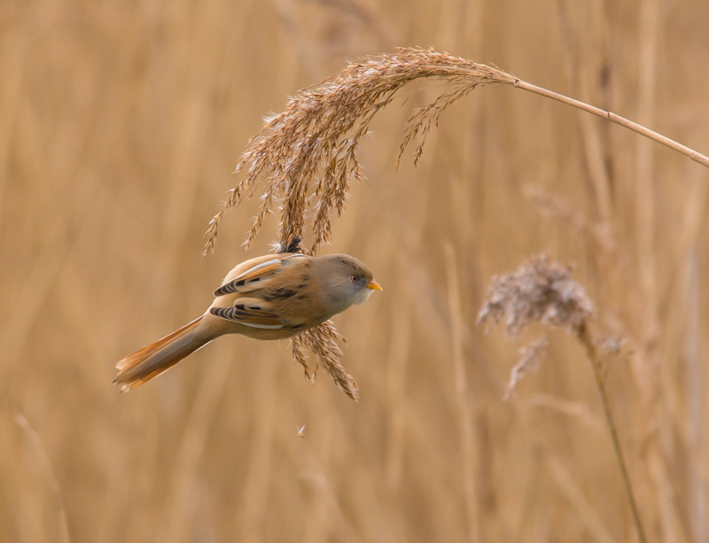 female bearded tit by mary bevis