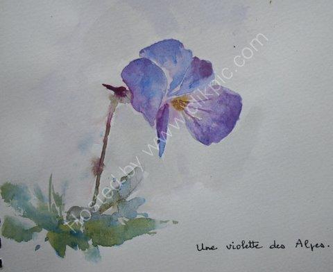Une violette des Alps, 2007
