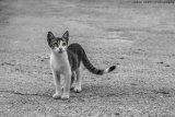 Cretan Kitten