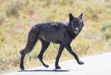Black Wolf of the Canyon Pack, Yellowstone National Park