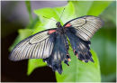 One of the Mormon group of butterflies, possibly a Great Mormon