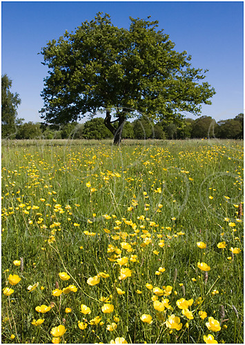 Oak tree and buttercups