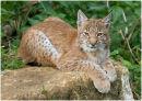 European / Eurasian Lynx
