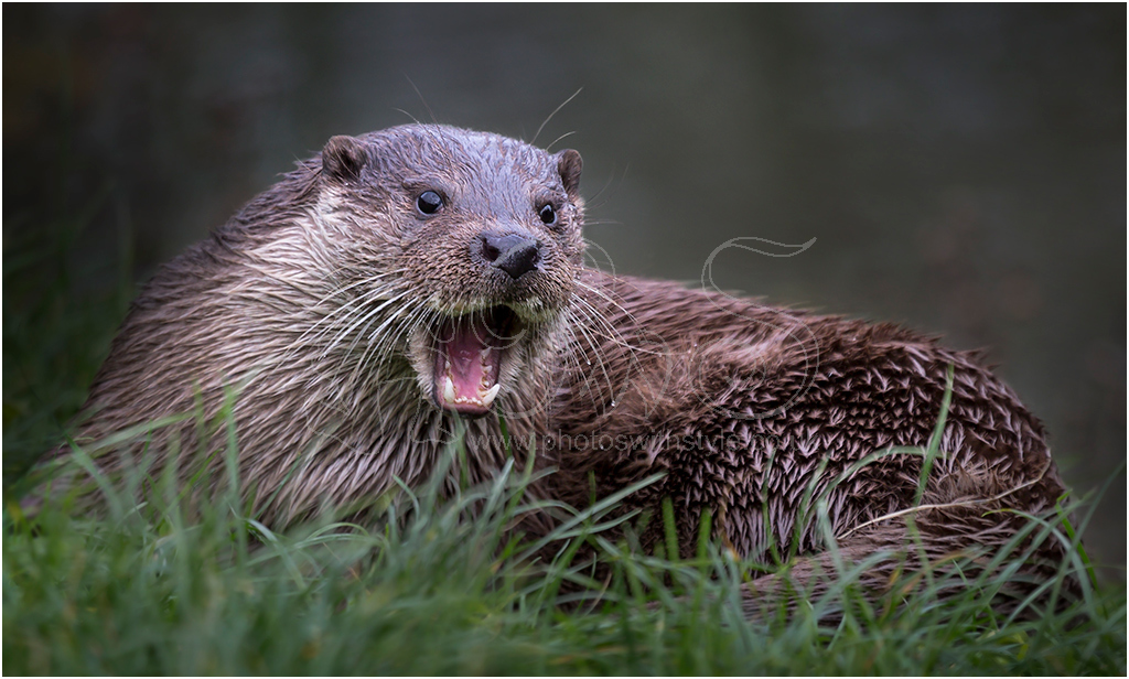 Feisty Otter