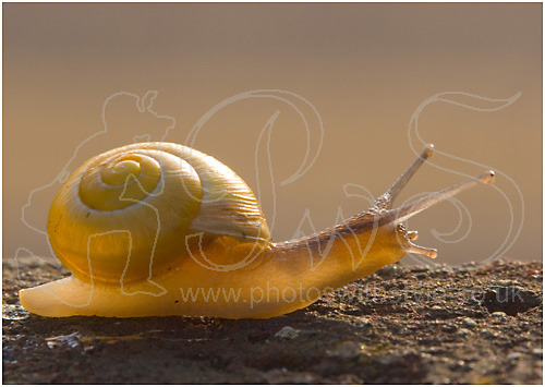 Snail in sunset