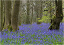 Common Bluebell