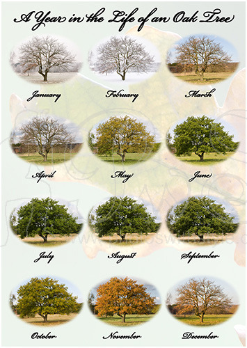 A Year in the Life of an Oak Tree