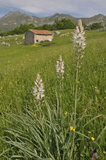 Asphodel in the Picos de Europa, northern Spain