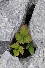 Bramble leaves growing in gryke, The Burren, Ireland