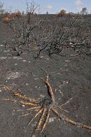 Burnt heathland