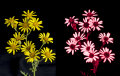 Common Ragwort: Senecio jacobaea, in visible and UV light.