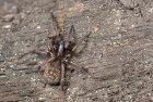 False Black Widow spider, Sussex England