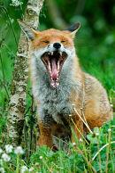 Fox yawning