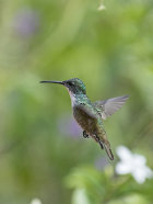 White-Chested Emerald Hummingbird