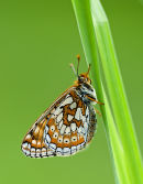 Marsh Fritillary Butterfly (Eurodryas aurinia)