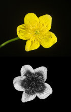 Marsh Marigold (Caltha palustris) in visible and UV light
