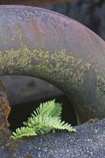 Polypody Fern: Polypodium vulgare, growing amongst iron piping at site of old pumping station. Dartmoor, England
