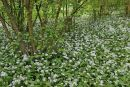 Ramsons, or Wild Garlic. Surrey.