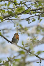 Robin: Erithacus rubecula, singing in apple tree in spring
