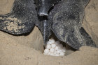 Leatherback Turtle laying eggs at night.