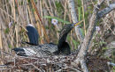 Snake Bird, or Anhinga, on nest. Anhinga Trail, Everglades