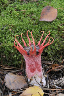 """""""Starfish Fungus"""" Aseroe rubra, photographed at it's only site in the UK, just 5 miles from my home in Surrey"""