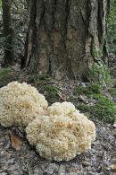 Cauliflower Fungi