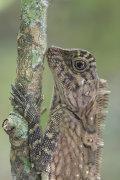 Short Crested Forest Dragon, Danum Valley, Sabah, Borneo