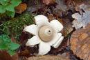 Earthstar Fungus (Geastrum triplex)