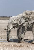 Elephants, Etosha, Namibia