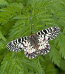 Festoon Butterfly