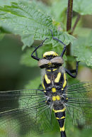 Golden-Ringed Dragonfly: close-up of head